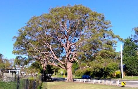 The Bullaburra Tree